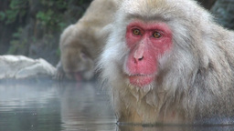 Snow monkey in Japan Footage