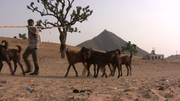 Man With Goats Walks Through Desert In India stock footage