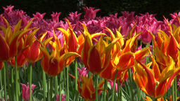 Red orange and pink tulips Footage