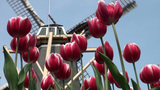 Typical Dutch scene windmill and tulips Footage