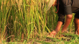 Worker Cutting Rice Plants In China stock footage