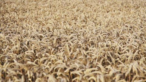 Panning Wheat Field Animation
