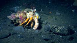 Anemone hermit crab (Dardanus pedunculatus) Footage