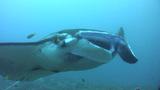 Giant manta ray (Manta birostris) close up Footage