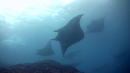 Bunch of giant manta ray (Manta birostris) swimmin Footage