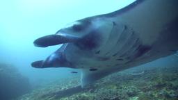 Giant manta ray (Manta birostris) swimming close b Footage