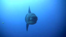 Oceanic sunfish (Mola mola) swimming towards camer Footage