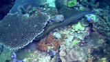 Yellow-edged or Yellow-margined moray (Gymnothorax Footage