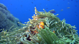 False clown anemonefish or nemo (Amphiprion ocella Footage