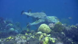 Black spotted porcupinefish (Diodon hystrix) matin Footage