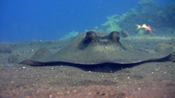 Blue-spotted stingray (Dasyatis kuhlii) digging th Footage