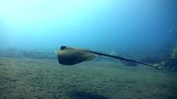 Blue-spotted stingray (Dasyatis kuhlii) swimming o Footage