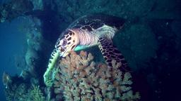 Hawksbill turtle (Eretmochelys imbricata) Footage