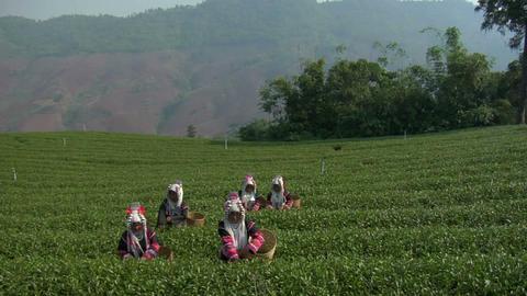Akha Tea Footage