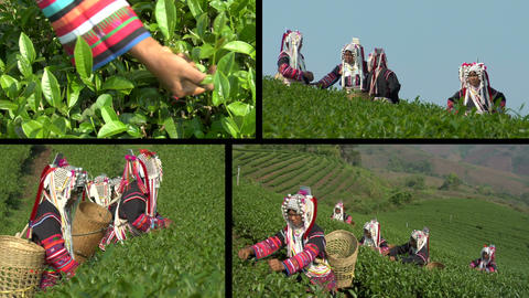 Akha Tea Pickers Montage Footage