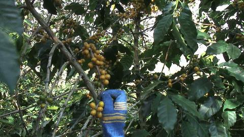 Akha Women Picking Coffee Footage