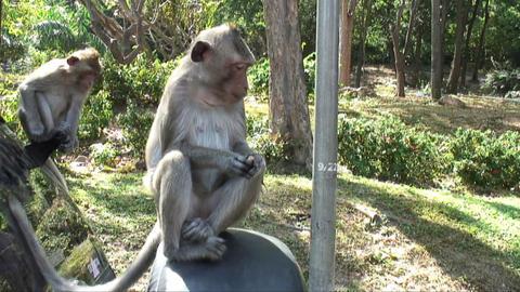 Monkey Catching Peanuts Footage