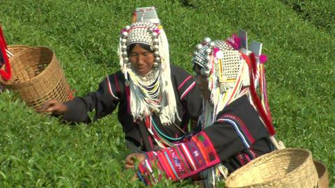 Oolong Tea Pickers Footage