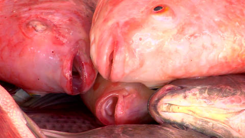 Pink Fish stock footage