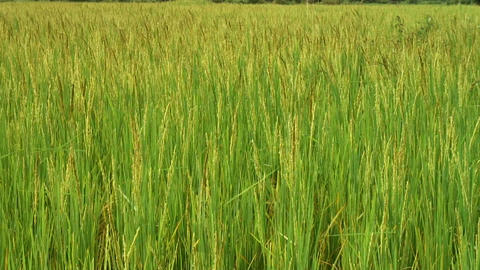Rice Field Footage