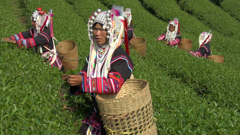 Tea Plantation Workers stock footage