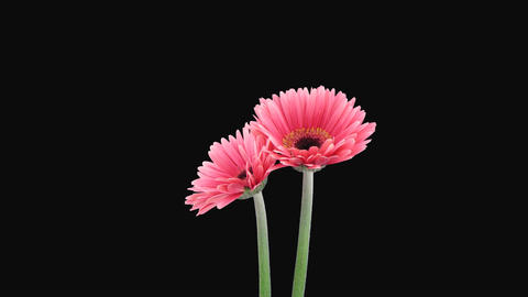 Time-lapse of growing and opening pink gerbera flo Footage
