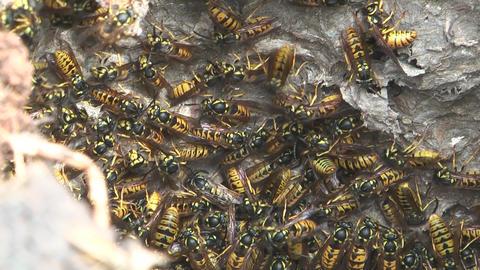 Hornet's nest Footage