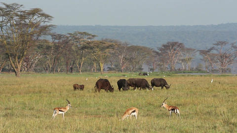 Grazing buffaloes and gazelle Footage