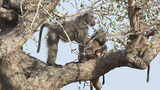 Baboons Breastfeeding stock footage