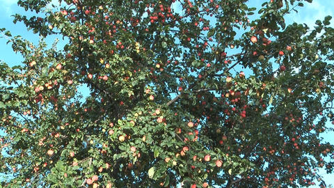Red apples Footage