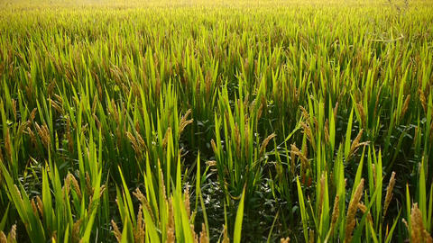 Asian Golden Rice Paddy,wait For The Harvest stock footage