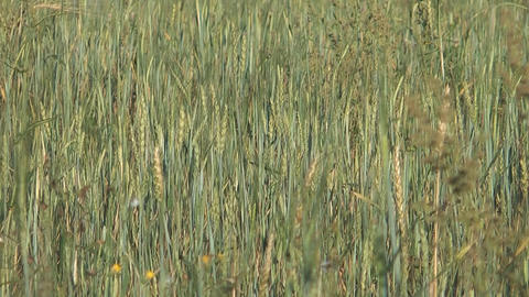 Barley stock footage
