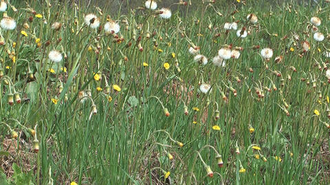 Coltsfoot Footage