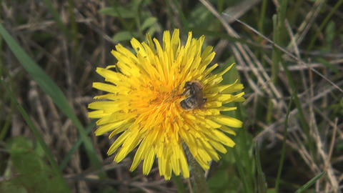 Bee on dandelion Footage