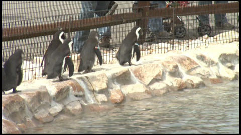 Penguines at Zoo 2 Footage