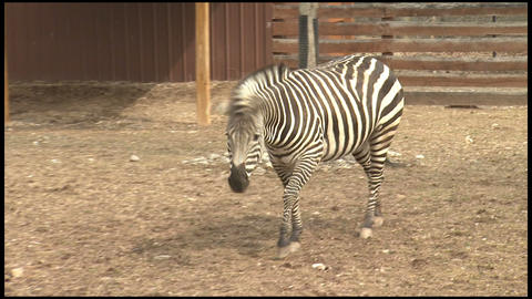 Zebra at the Zoo 2 Footage