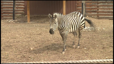 Zebra at the Zoo 2 Stock Video Footage