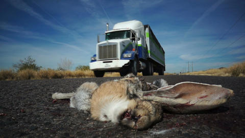 Road Kill Rabbit Truck Passing stock footage