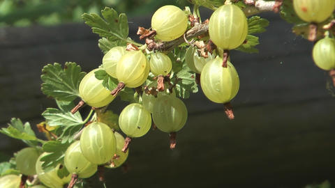 Bunch of gooseberries Footage