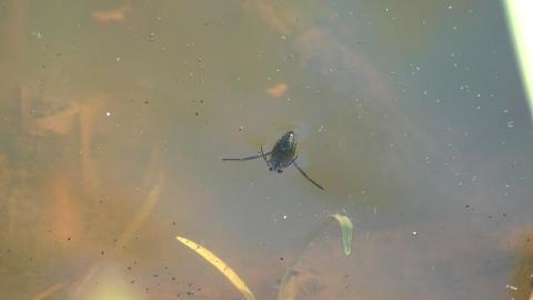 Larva Footage