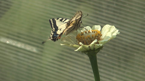 Machaon Live Action