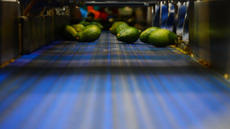 Avocados industry, packaging line Footage