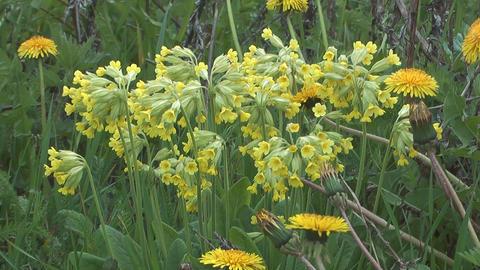 Primula flowers Footage