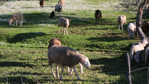 Sheep Grazing On Meadow, Closeup stock footage