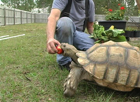 African Spurred Tortise (1) Stock Video Footage