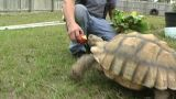 African Spurred Tortise (1) stock footage