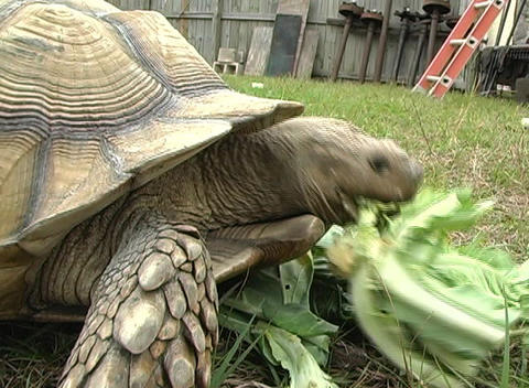African Spurred Tortise (3) Stock Video Footage