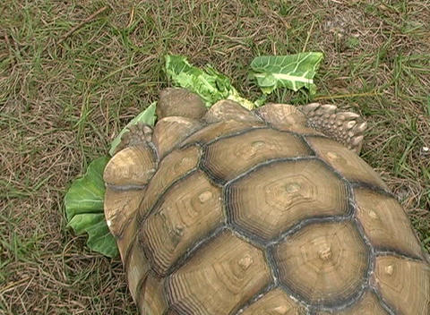 African Spurred Tortise (7) Stock Video Footage