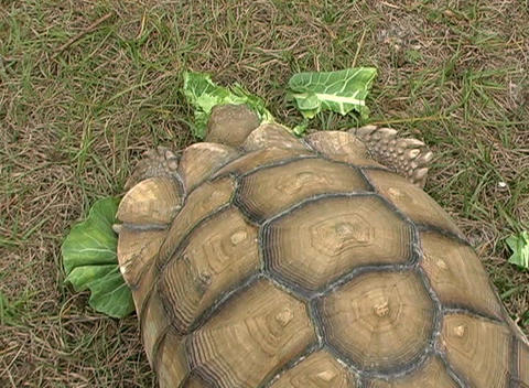 African Spurred Tortise (7), Live Action