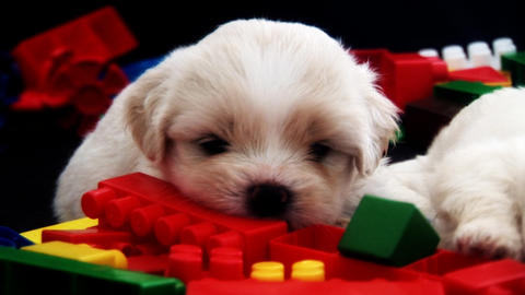 Single White Puppy with Brick Stock Video Footage